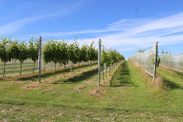 The vineyard at Trevibban Mill in north Cornwall, near Padstow.